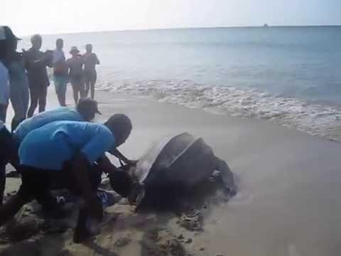 Large Leatherback Turtle on St. Lucia Beach
