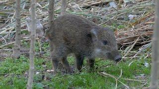 イノシシの子ども 猪 学名:Sus scrofa Japanese wild boar Audionautix...