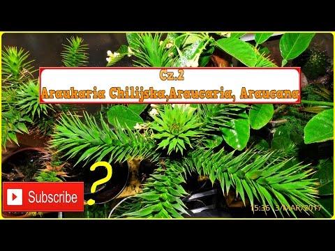 #203. 🌿🌱Cz.2-Araukaria Chilijska uprawa forum ogrodnicze ciekawe rośliny