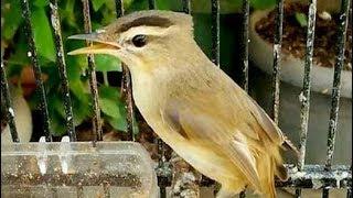 Download lagu Burung Kerakbasi Alis Hitam Gacor Bersuara Merdu Buat Master MP3