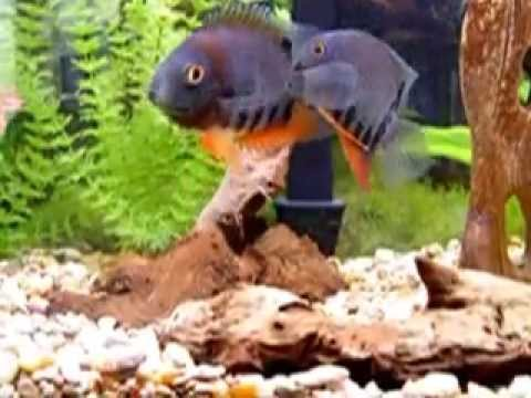 Breeding Pair Of ~Heros Rotkeil / The Red Headed Severum (Wild Caught Adults)