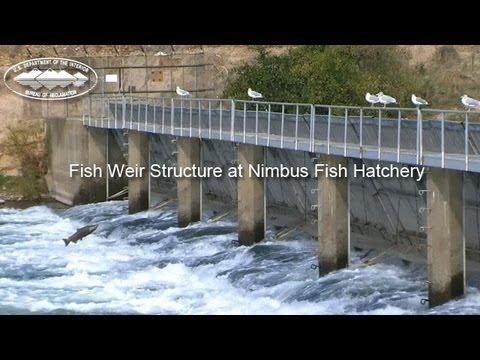 Nimbus fish hatchery weir youtube for Nimbus dam fishing