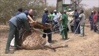 Giraffe Capture Operation Senegal 2011