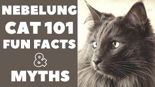 Nebelung Cats 101 : Fun Facts & Myths