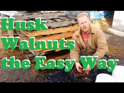 Husk and Clean WALNUTS the Easy way