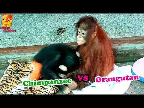 To Watching ......Baby Chimpanzee VS Baby Orangutan