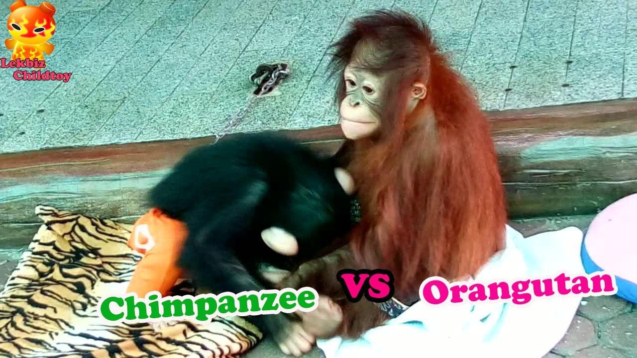 To Watching       Baby Chimpanzee VS Baby Orangutan