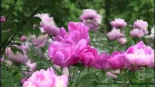 Raindrops on the Peonies.mp4