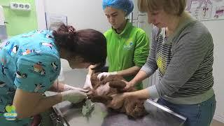 Забор крови у кошки на исследование.