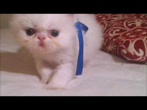 Exotic Shorthair Kittens Available for sale