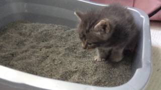 Manika the foster kitten learning how to go potty
