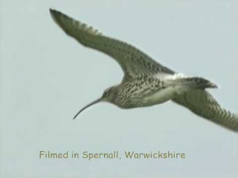 Curlew Capers (and song)