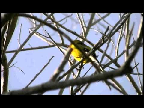 Yellow Grosbeak singing