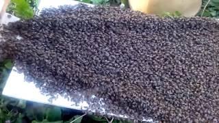 Пчелинная семья заходит в новый улей.Из ловушки,обессиленные.