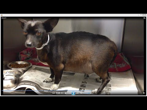 Chihuahua | Moco 3 Year Old MALE Chihuahua With Ascites | Needs To Be Rescue ASAP