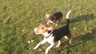 Лучше БИГЛЯ может быть только ДВА БИГЛЯ! Джек и Джесси! Better Beagle can only be two Beagle!