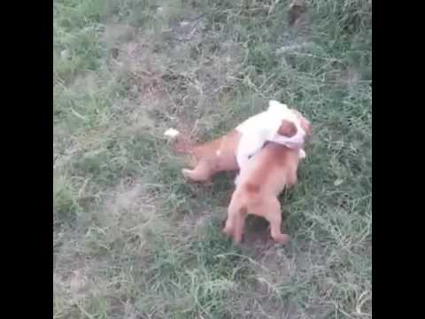 pitbull pups fights