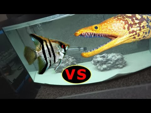 Scary! Large Eel VS Giant Freshwater Angelfish!