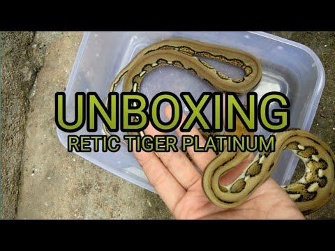 Unboxing Ular Tiger Platinum Python ( Reticulatus kelas morph )
