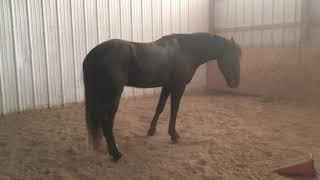Horse Rolls in Arena (1/10/2019)