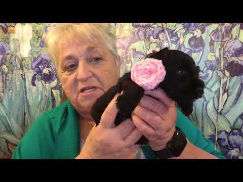 Oh WOW! Miniature Schnauzer Puppy!!! Drop Dead Gorgeous Black Miniature Schnauzer girl!