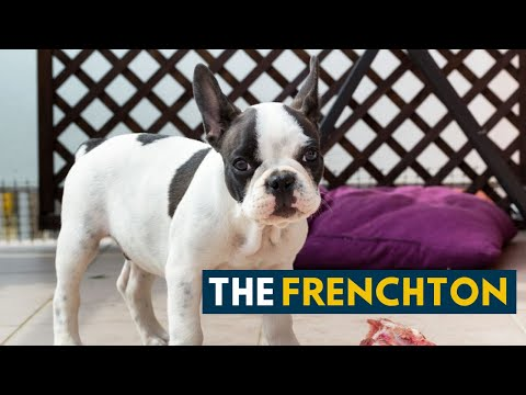 Frenchton: 10 Facts You Never Knew About This All Rounder Dog!