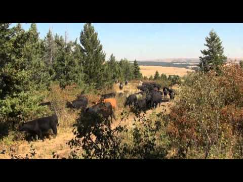 Part I - Cattle drive in Montana