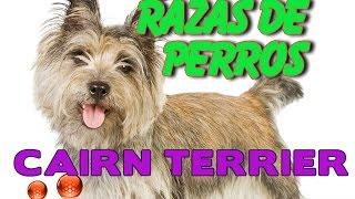 Raza De Perro Cairn Terrier