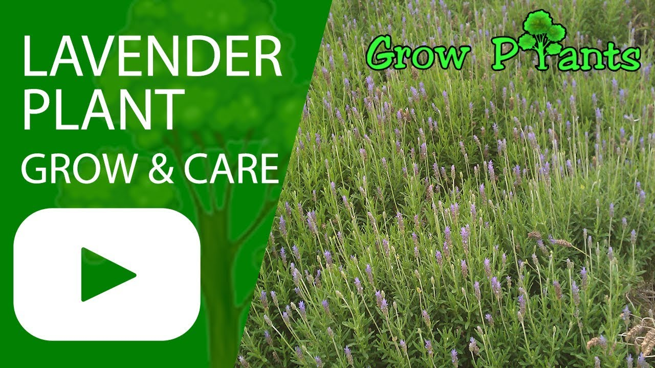 Lavender plant - growing and care - YouTube