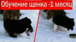 Обучение щенка лайки. ч1