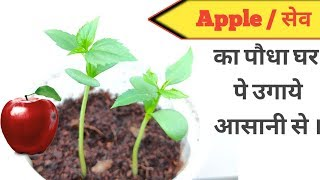 Grow Apple tree from seeds /  सेव का पौधा घर पे उगाने का एक मात्र तरीका ।