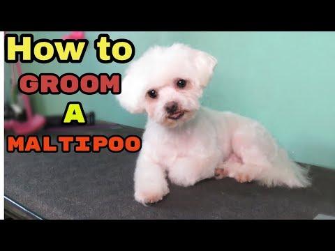 How to Groom a Maltipoo