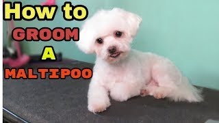 How to Groom a Maltipoo