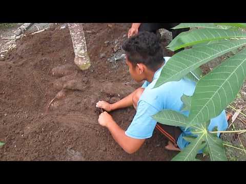 singkong dengan berat 50 kg per pohon