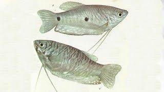 Гурами голубой/Trichogaster trichopterus trichopterus - Аквариумные тропические рыбы #24