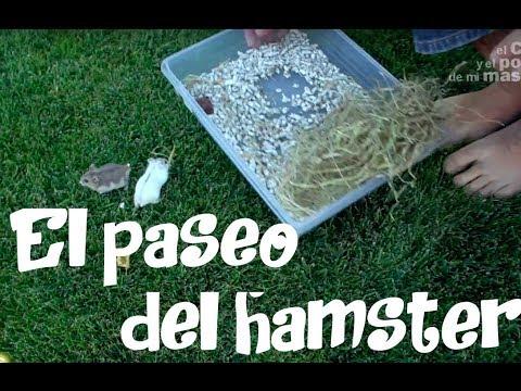 HÁMSTER, exercise , los beneficios de pasear un hamster, haciendo ejercicio.