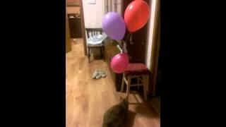 Кошка-Веснушка играет с воздушными шариками