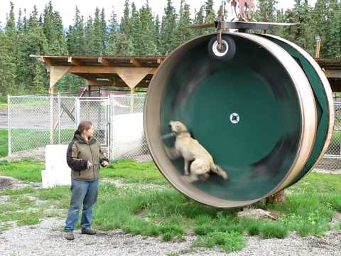 Alaskan Husky Exercise Wheel