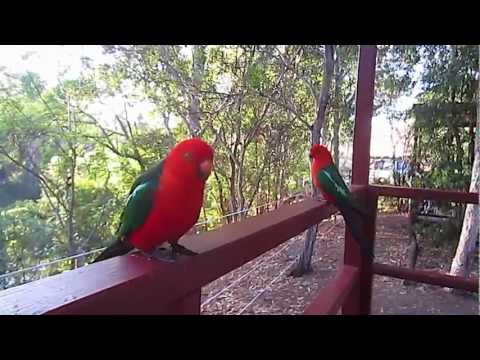 Attractive Australian King Parrot thumbnail