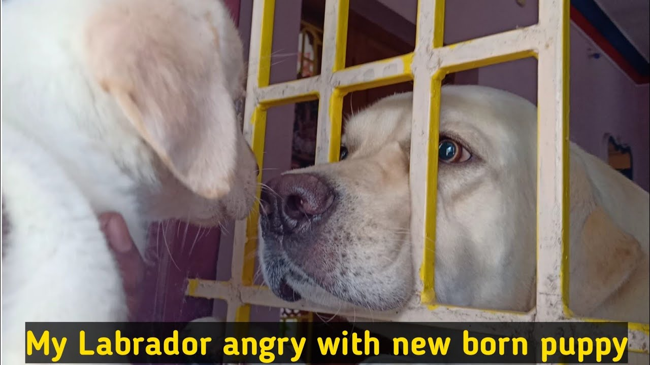 Labrador puppies | My labrador angry with in new born puppy | Labrador angry & funny moments