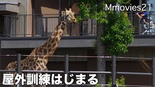 Masai Giraffe 、Yuma (male/20). He was moved to a new facility. Cu...