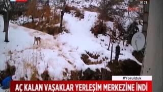 Aç kalan Vaşaklar Erzincan Şehir Merkezine İndi