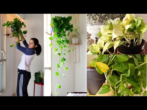 My Secret to Bushy and Longer Money Plant (Pothos)