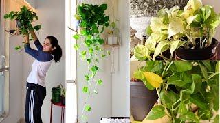 My Secret to Bushy and Longer Money Plant (Pothos)