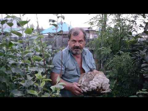 Грибы для домашнего выращивания 469