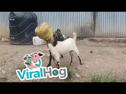 Two Goats, One Pot
