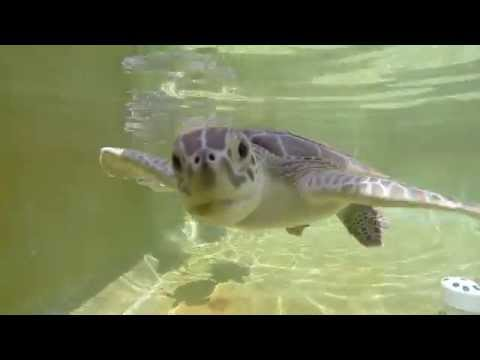 Cute Baby Sea Turtles trying to eat my GoPro