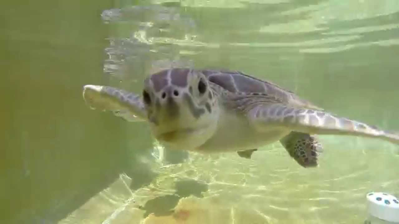 Cute Baby Sea Turtles Trying To Eat My Gopro Youtube