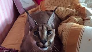 Caracal - Amazing wild cat