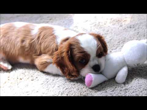 Cavalier King Charles Spaniel Lilly | Puppy's first day home